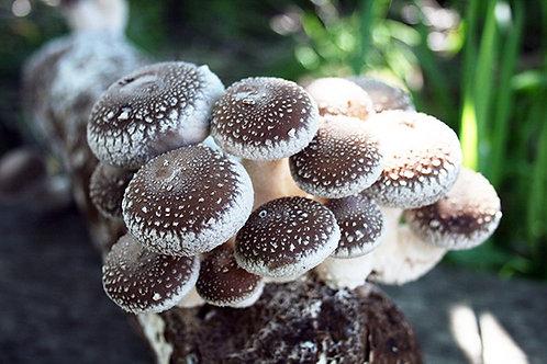 Shiitake 3782(Lentinula edodes)