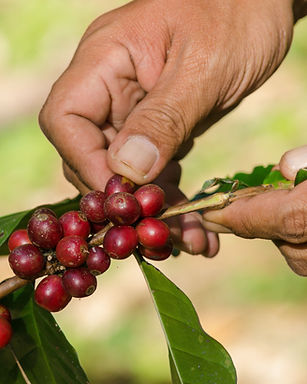 arabica coffee berries with agriculturis