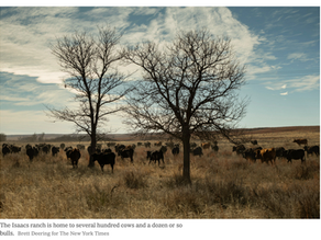 A Different Kind of Land Management: Let the Cows Stomp