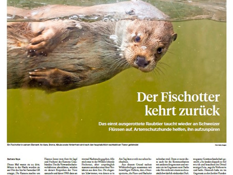 Bericht über den Fischotter in der Sonntagszeitung