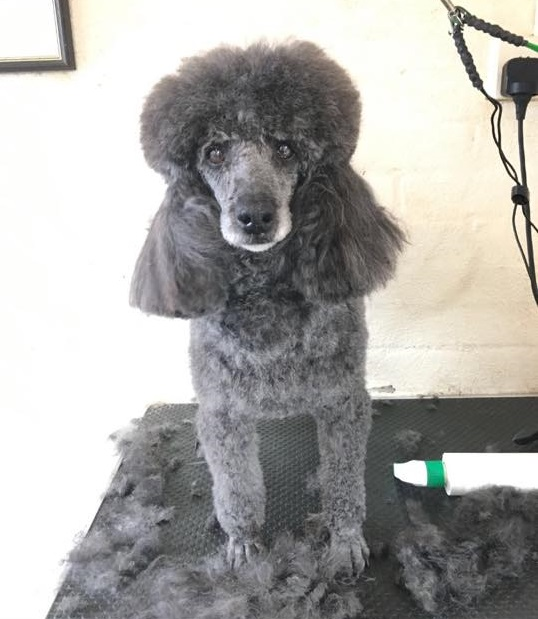 Squidge the Poodle