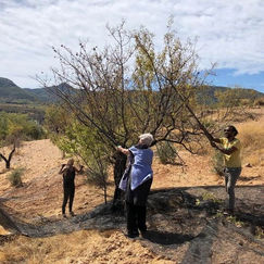 Our neighbor Pilar (90 yo!) is picking almonds with us