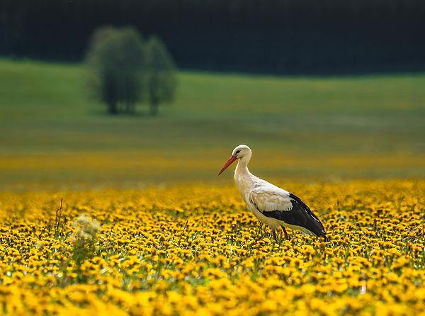 2_Cigogne blanche sur tapis jaune_Verdoo