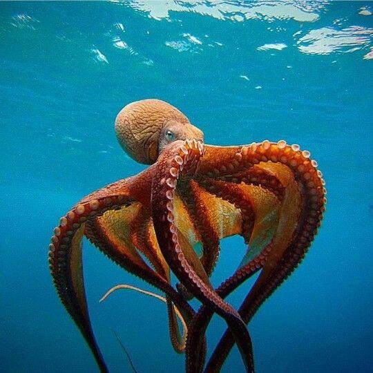 the opulent octopus