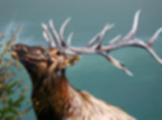 The Harvest (Elk)