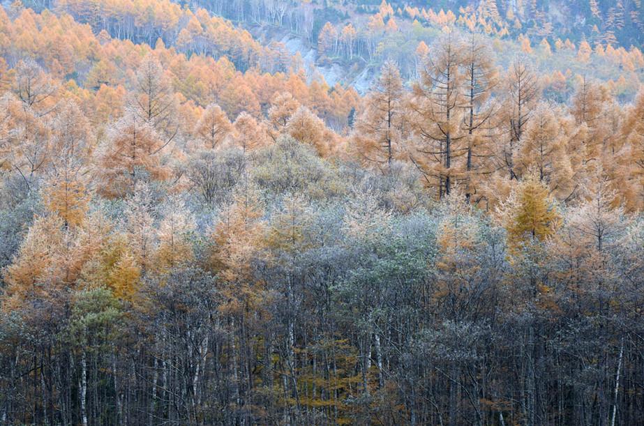 カラマツの黄葉が残るこの時期の霧氷が一番きれい。