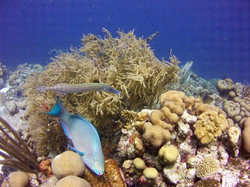 trumpet and parrot fish