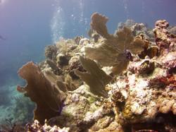 Florida Coral