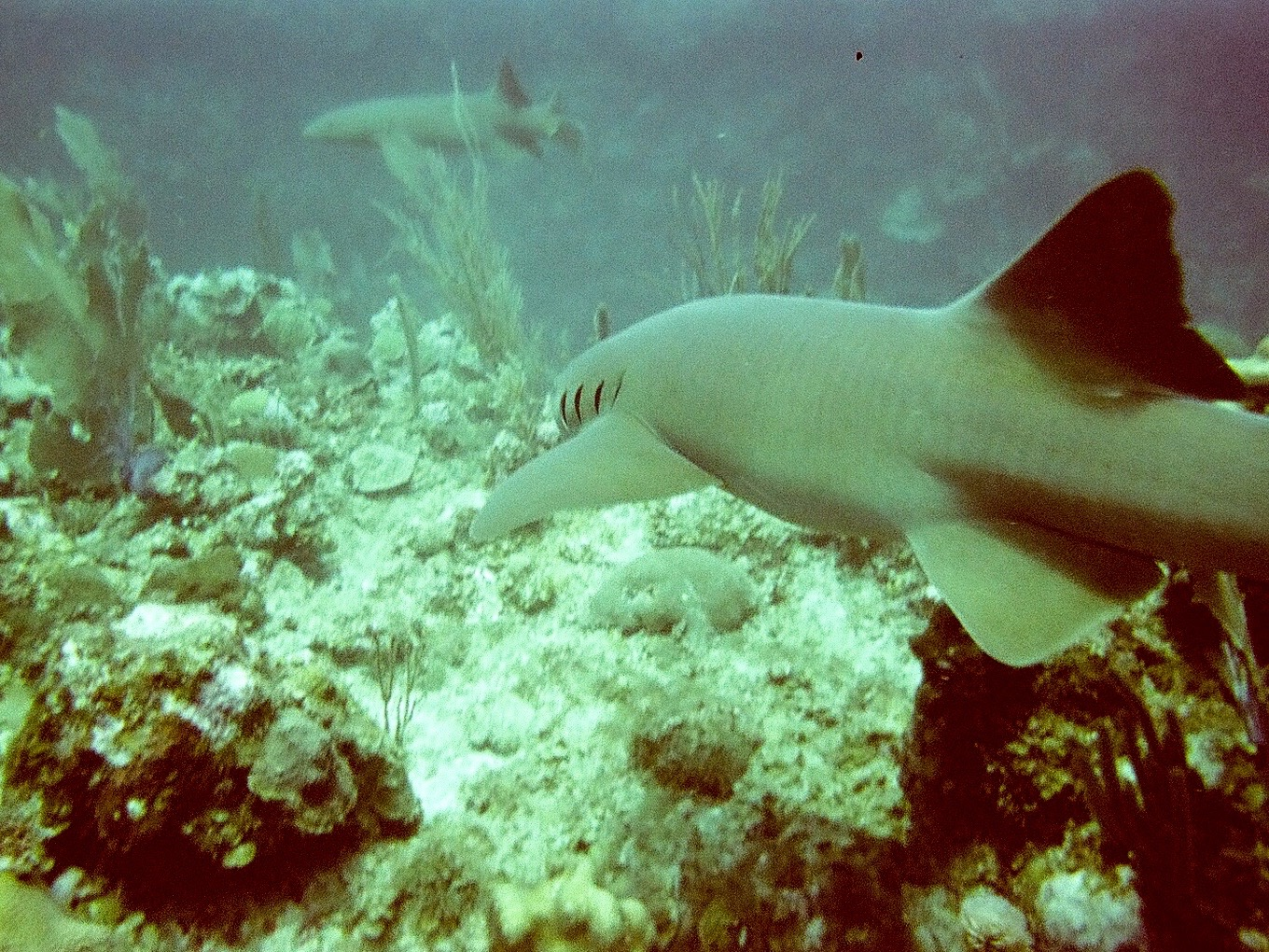 Belize.sharks