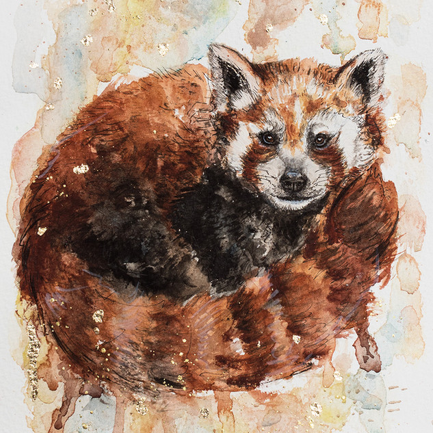 Malá panda červená