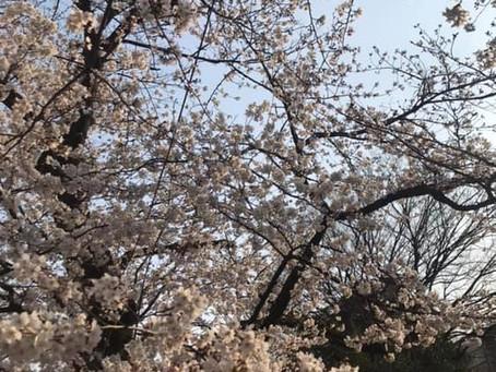 千鳥ヶ淵 5部咲きです。