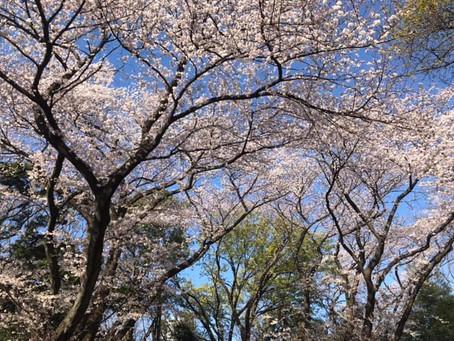 桜の下で瞑想