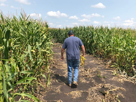 Crops Wither Across Heartland from Drought