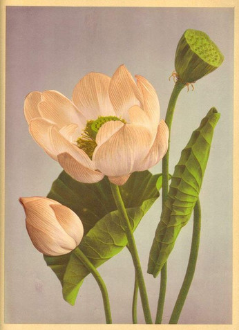 Цветы Рамсеса II