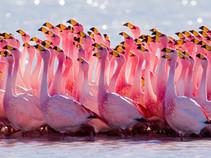 Фламинго танцуют