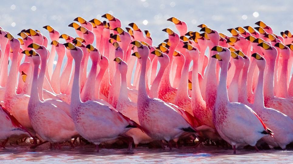 How Flamingos Dance
