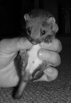 Orphaned Weasel