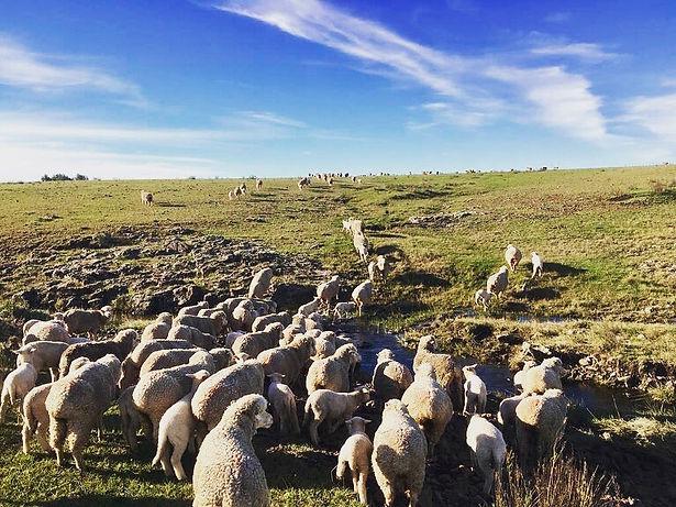 Polwarth sheep