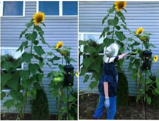 Capture sunflowers.JPG