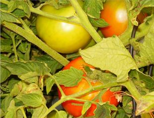 Tomato Junk