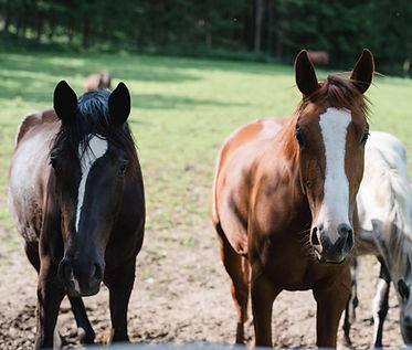 Pferdezucht Niederösterreich Gut Theuretzbach