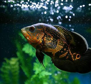 oscar_fish_in_freshwater_aquarium_-_shut