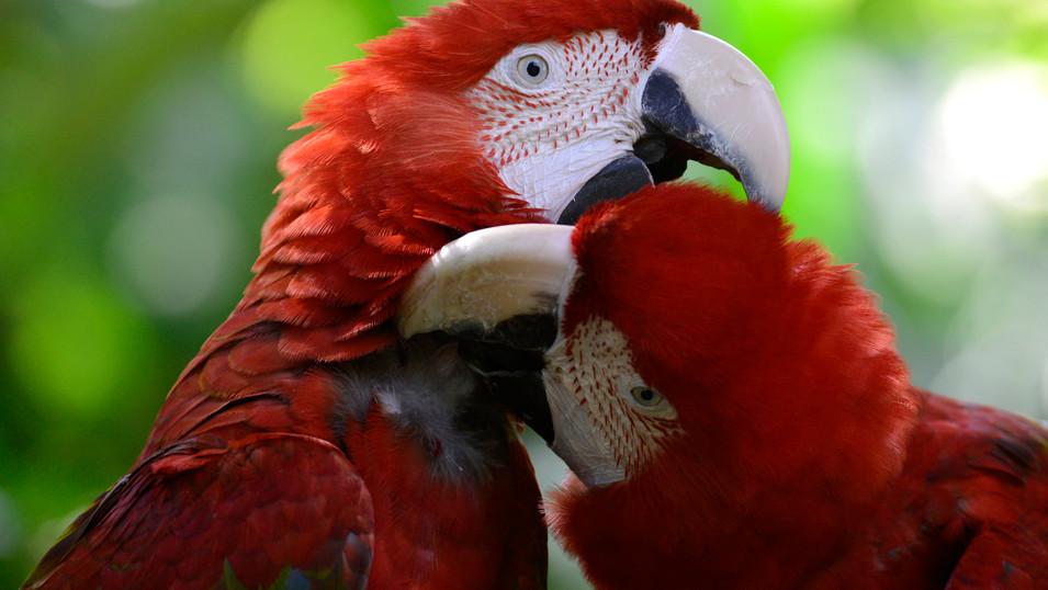 PL01 89 SB0812 Papagei.jpg