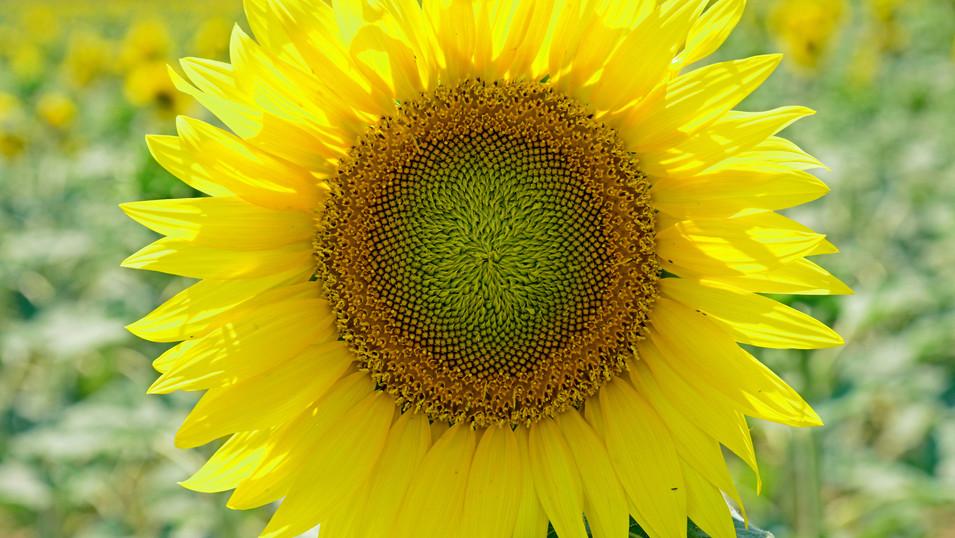 PL01 63 NW0207 Sonnenblume.jpg