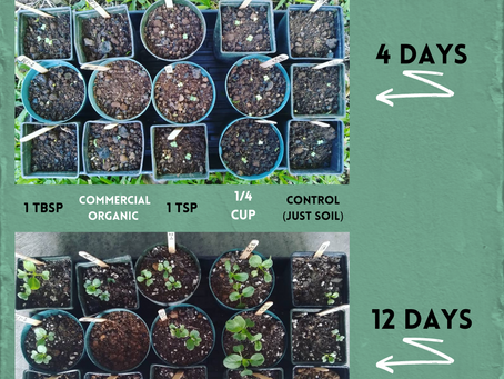 How to use your compost, bok choy experiment