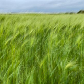 Swaying Crops