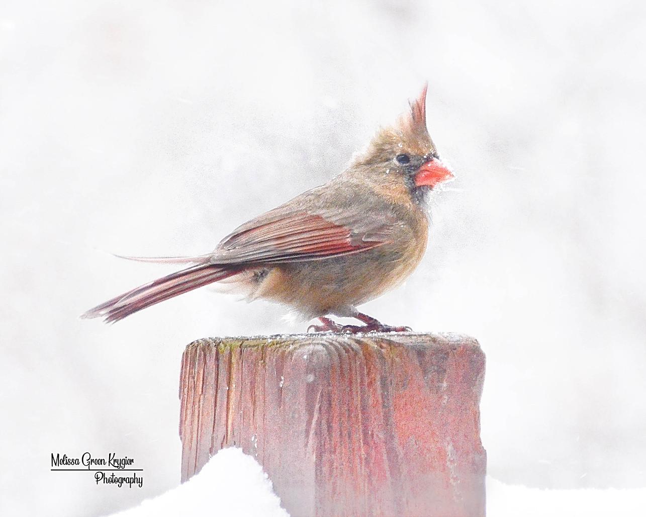 Wintry Female Cardinal-2 (16x20)