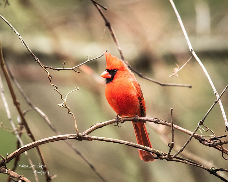 Male Cardinal Looking Left (16x20)
