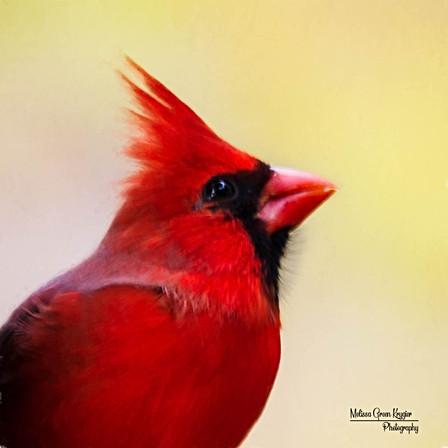 Male Cardinal (8x10)