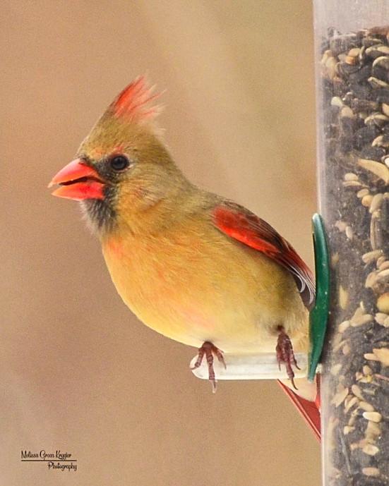 Female Cardinal at Feeder (8x10)
