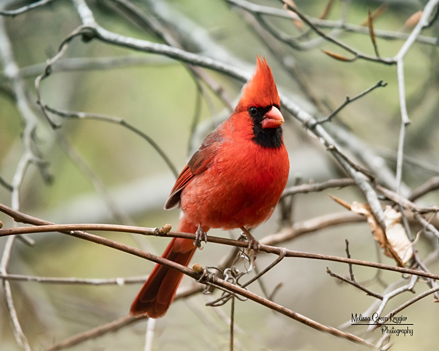 Male Cardinal Looking Right (16x20)