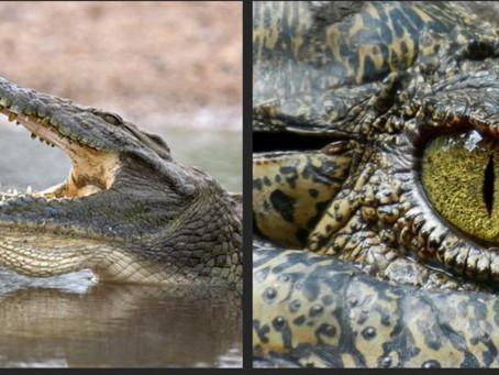 Cá sấu - Gã sát thủ đầm lầy