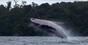 CRÓNICA: Con Covid o sin Covid las ballenas llegaron al Pacífico colombiano