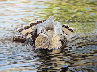 Diane Marcotte_Cooper's Hawk (Bath Time)