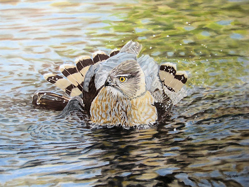 Cooper's Hawk (Bath Time)