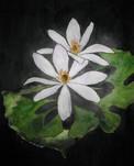 DianeMarcotte_BloodrootBlossoms.jpg
