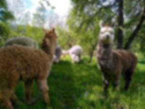 Osser-Alpakas Arrach 2019-4.jpg