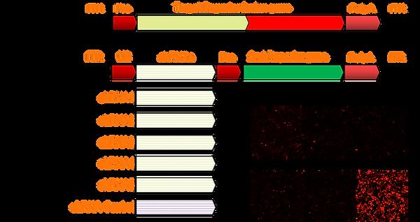 shRNA selection.png