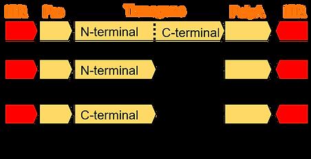 Dual functional vectors.png