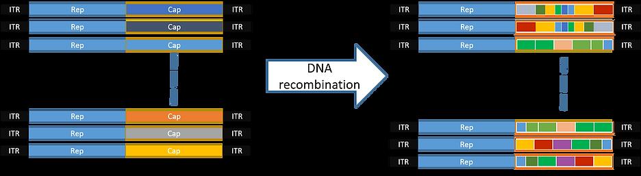DNA shuffling.png