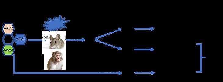 AAV Capsid Selection Protocol-Basic.png