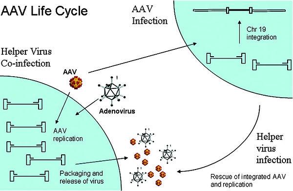 AAV Life cycle.jpg