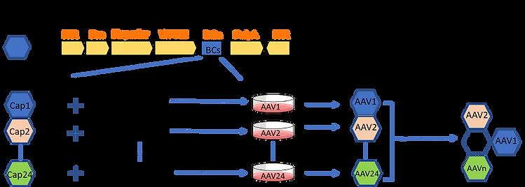 AAV Capsid Selection Kit.png