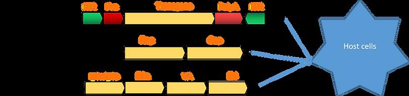 Production of AAV vectors.png