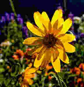 Wildflowers photographed at Alta Ski Area