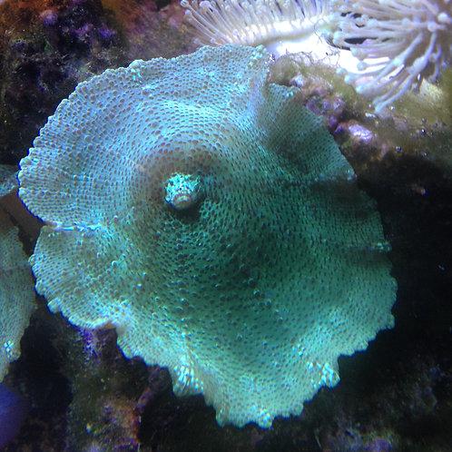 green mushroom coral